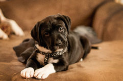 Puppy. Pitbull/Lab puppy posing for picture Stock Photo