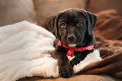 Puppy. Pitbull/Lab puppy posing for picture Stock Photography