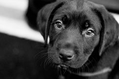 Puppy. Pitbull/Lab puppy posing for picture Stock Images