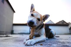 Puppy Play in yard with stick royalty free stock photography