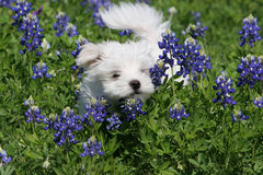 Puppy Play. Playful pup playing in a field full of Texas' state flower Royalty Free Stock Photos