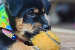 Puppy play the ball Stock Photo