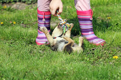 Puppy play with colorful rope Royalty Free Stock Photo