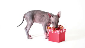 Puppy play with a gift box stock video footage