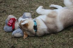 Puppy play with toy, Siberian Husky puppy stock images