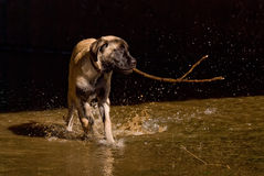 Puppy play in water Stock Photography