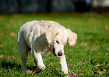 Puppy playing Royalty Free Stock Photo