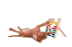 Puppy playing with abacus. Little puppy is learning to count Royalty Free Stock Photos