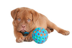 Puppy playing with a ball Royalty Free Stock Photo