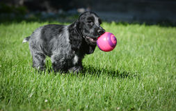 Puppy playing ball Stock Photos