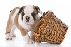 Puppy playing with basket Stock Photos