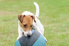 Puppy playing with basketball ball looking wary for his prey. Jack Russell Terrier chewing big ball Stock Image