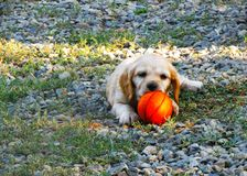 Puppy playing with a basketball ball