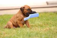 Puppy playing with Broom Stock Images
