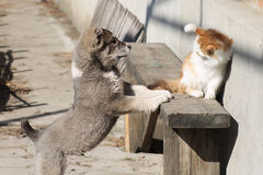 Puppy playing with cat. Little puppy playing with a ginger cat Royalty Free Stock Photos