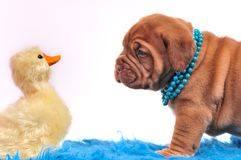 Puppy playing with a duck Royalty Free Stock Image