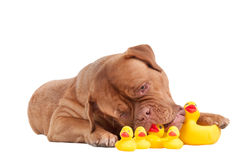 Puppy playing with duck toys isolated on white Stock Image