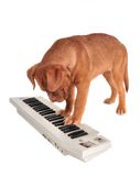 Puppy Playing electrical Piano Stock Photos