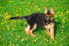 Puppy playing in the field Royalty Free Stock Photos
