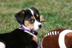 Puppy playing with football. Cute picture of 8-week old Lab/German Shepherd mix puppy playing outside with toy football Stock Photos