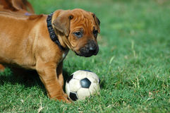 Puppy playing with football toy royalty free stock photos