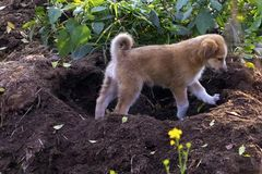A Puppy playing in garden royalty free stock photos