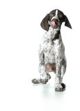 Puppy playing Royalty Free Stock Photos