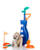 Puppy playing golf Stock Photos