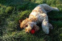 Puppy playing in the grass Royalty Free Stock Images