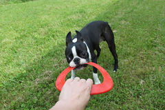 Puppy playing on grass - Boston Terrier Royalty Free Stock Photography