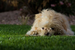 Puppy playing in the grass Stock Photo