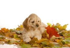 Puppy playing in leaves Stock Image