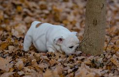 Puppy playing outside in autumn stock image