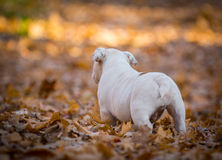 Puppy playing outside in autumn Royalty Free Stock Image