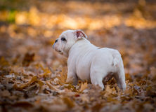 Puppy playing outside in autumn Royalty Free Stock Photo