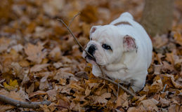 Puppy playing outside in autumn Stock Photo