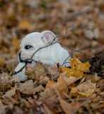 Puppy playing outside in autumn Royalty Free Stock Photos