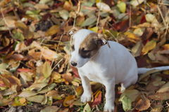 Puppy playing outside in autumn Royalty Free Stock Images