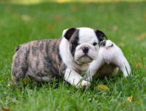 Puppy playing outside Stock Images