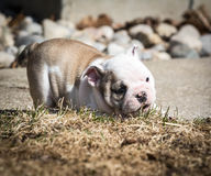 Puppy playing outside Stock Photos