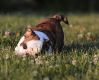 Puppy playing Royalty Free Stock Image