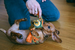 Puppy playing with owner stock image