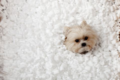Puppy playing in packing  peanuts Stock Image