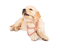 Puppy Playing With Pearls Royalty Free Stock Photography