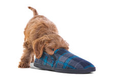 Puppy playing with slipper Stock Photography