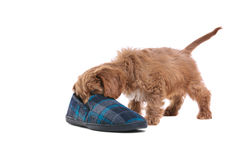 Puppy playing with slipper Stock Image