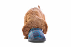 Puppy playing with slipper Royalty Free Stock Photography
