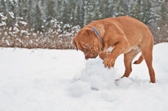 Puppy playing with snow ball. French Mastiff puppy playing with snow ball royalty free stock photos
