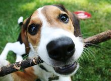 Puppy Playing with Stick. 5 month old collie/beagle mix playing with a stick outside Royalty Free Stock Images
