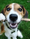 Puppy Playing with Stick stock images